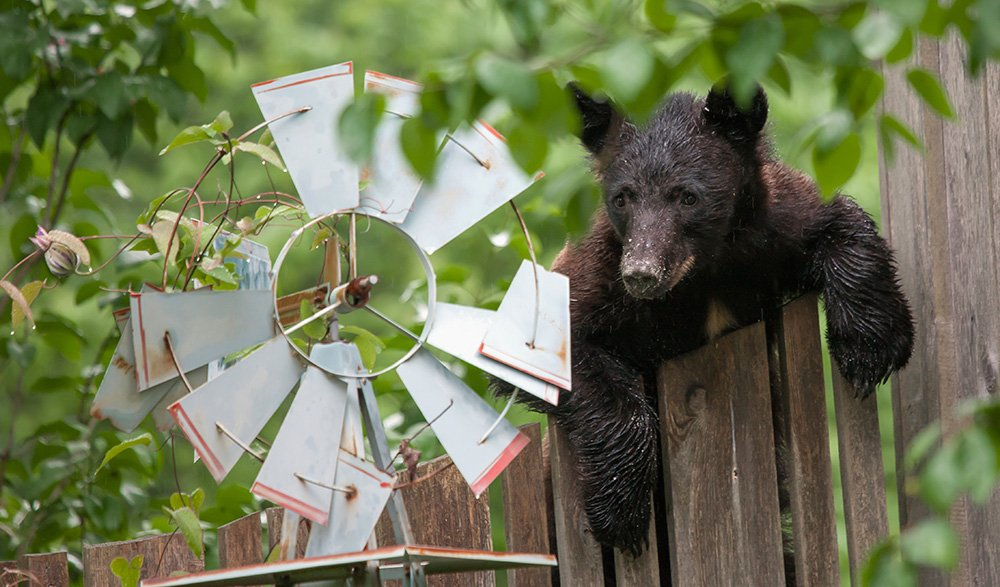 Black Bears will eat from seed bird feeders as well as from hummingbird feeders.
