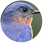 Eastern Bluebird close up
