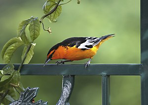The Bullock's Oriole migration route takes it through western side of the Mississippi Flyway.