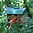 Northern Cardinal Feeder