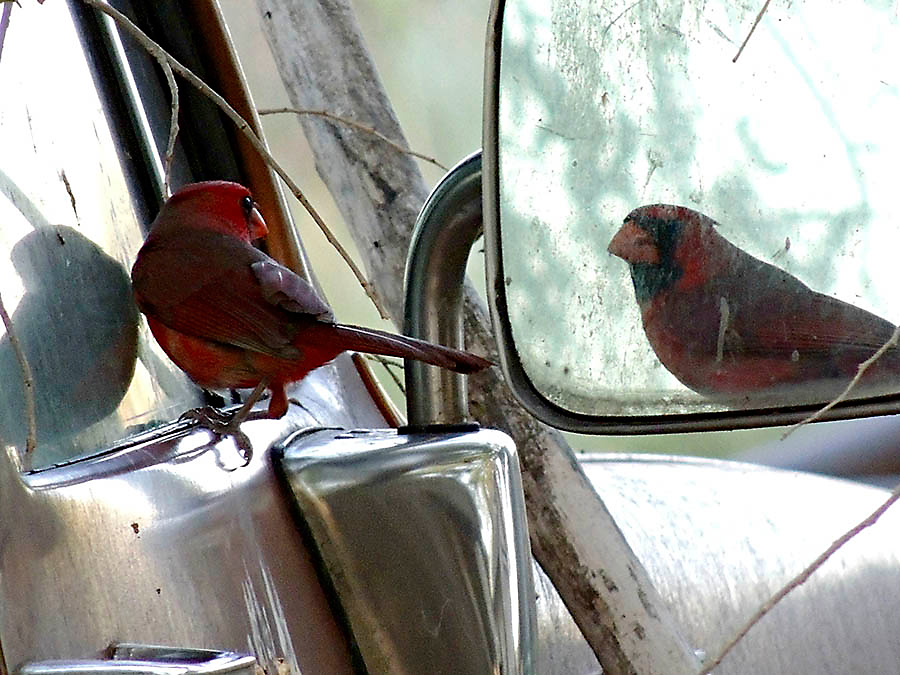 Northern Cardinals often attack their own reflection in mirrors and windows.