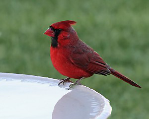 cardinal at bird bath