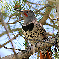 Northern Flicker ID