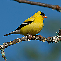 Male American Goldfinch ID