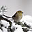 American Goldfinch winter plumage