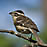 Black-Headed Grosbeak female