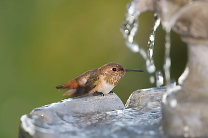 how do birds bathe hummingbird in fountain