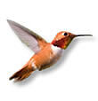 FAQs Hummingbirds