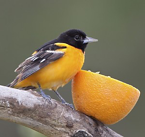 oriole eating orange
