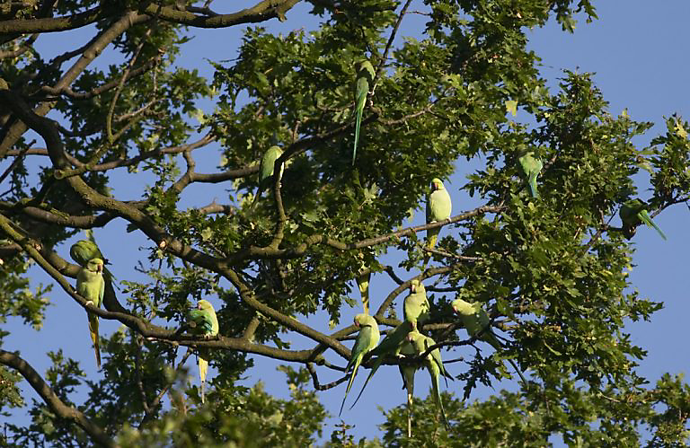 exotic birds rose-ringed parakeets