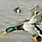 Mallard duck flight