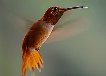 Allen's Hummingbird migration