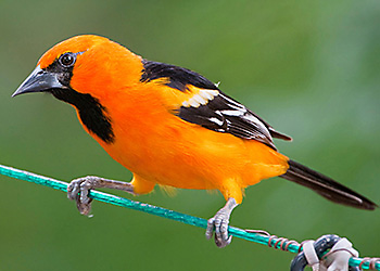 Altamira Oriole migration