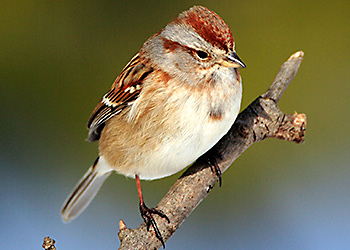 American Tree Sparrow migration