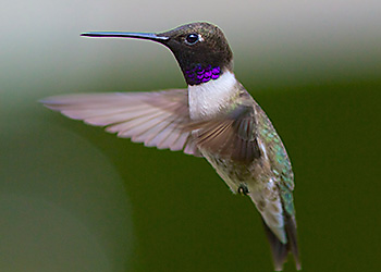 Black-chinned Hummingbird migration