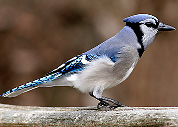 Blue Jay migration