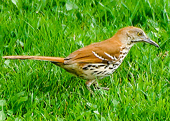 Brown Thrasher migration