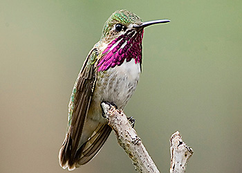 Calliope Hummingbird migration