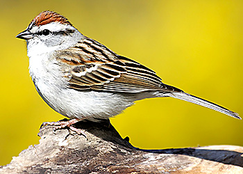 Chipping Sparrow migration