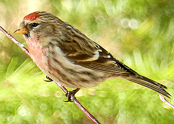 Common Redpoll migration