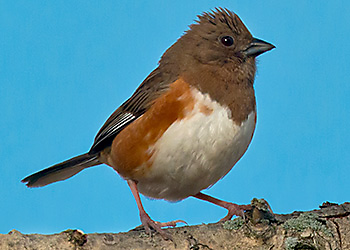 Eastern Towhee migration