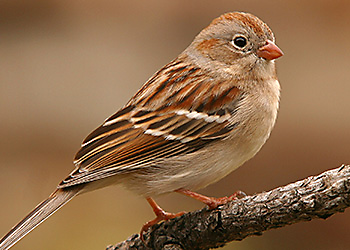 Field Sparrow migration