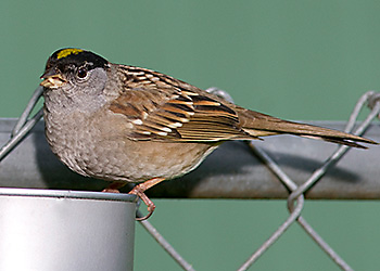 Golden-crowned Sparrow migration