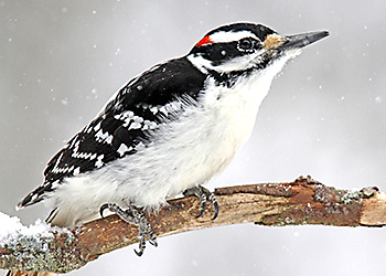 Hairy Woodpecker migration