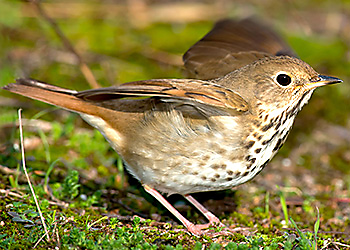 Hermit Thrush migration