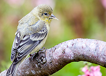 Lesser Goldfinch migration