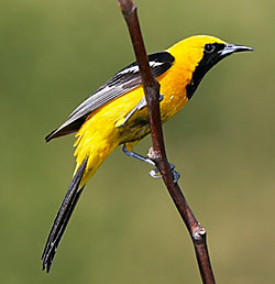 Hooded Oriole migration