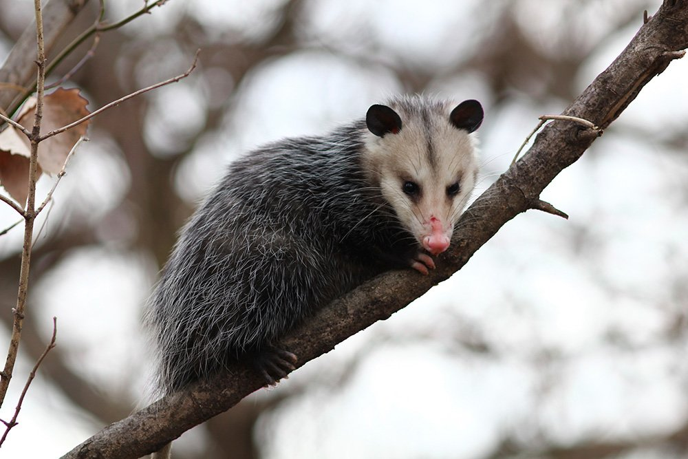Opossums are largely active at night, so one way to keep them away from bird feeders is to bring them in after sunset.