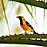 Hooded Oriole orange bird