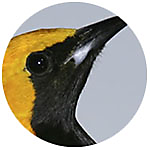 Hooded Oriole close up