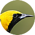 oriole species library