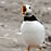 Atlantic Puffin call