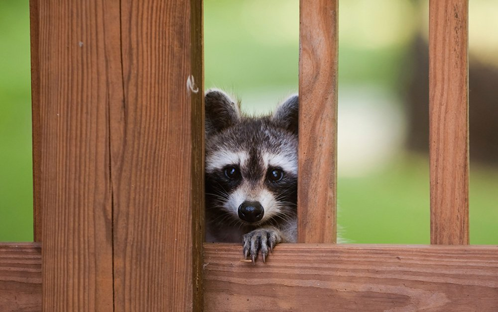 Raccoons are smart animals that exploit any food source they can find, including your bird feeder.