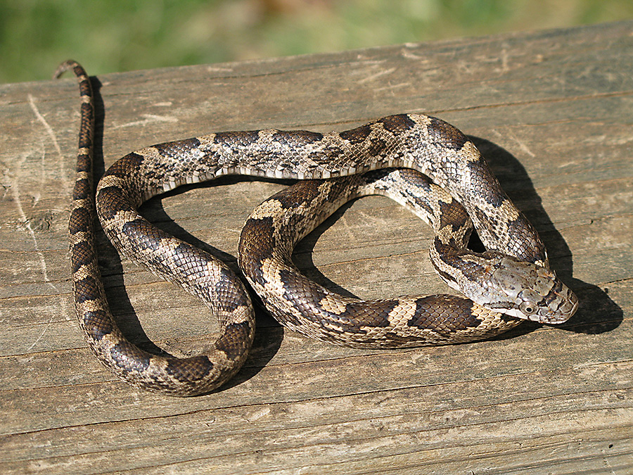 Snakes are common songbird predators, often raiding nests for eggs.