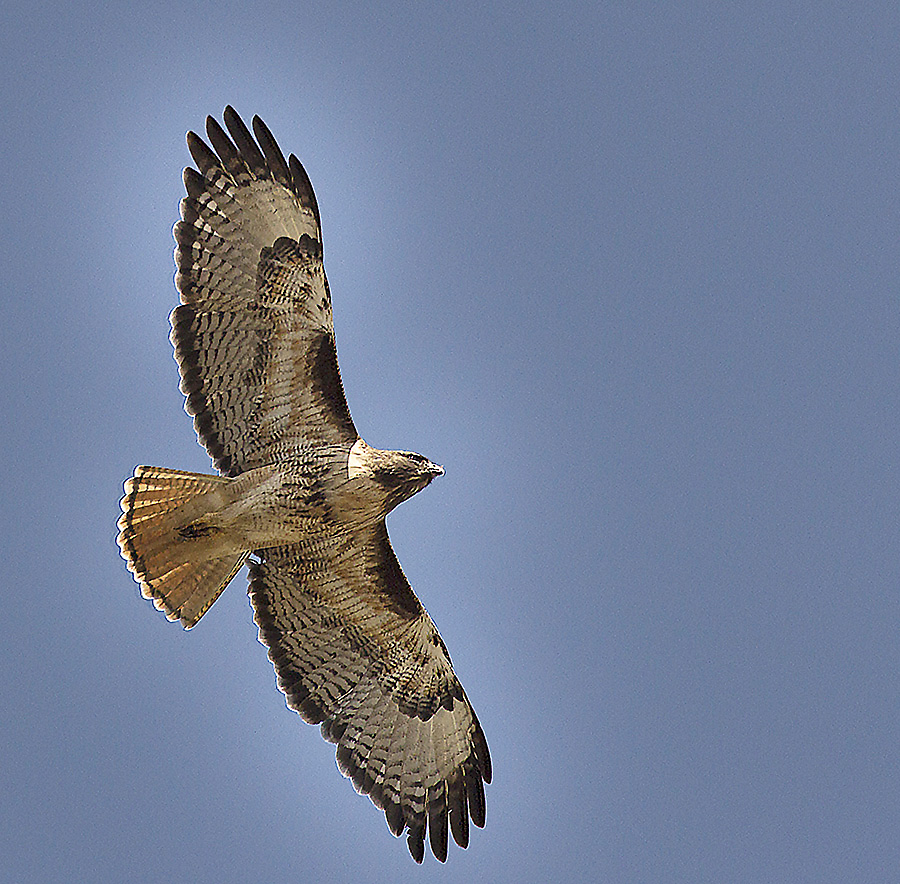 The Red-tailed Hawk has a distinct silhouette when flying.