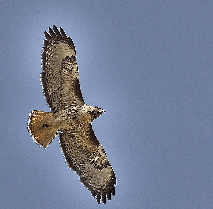 species spotlight red tailed hawk