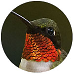 Ruby-throated Hummingbird close up