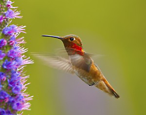 Rufous Hummingbirds typically imbibe nectar from nearby flowers.