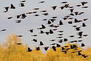 Red winged blackbirds(Agelaius phoeniceus) are among the most numerous birds in America.