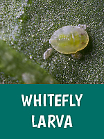 White Fly Larvea
