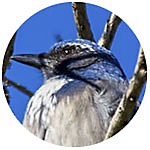 Western Scrub-Jay close up