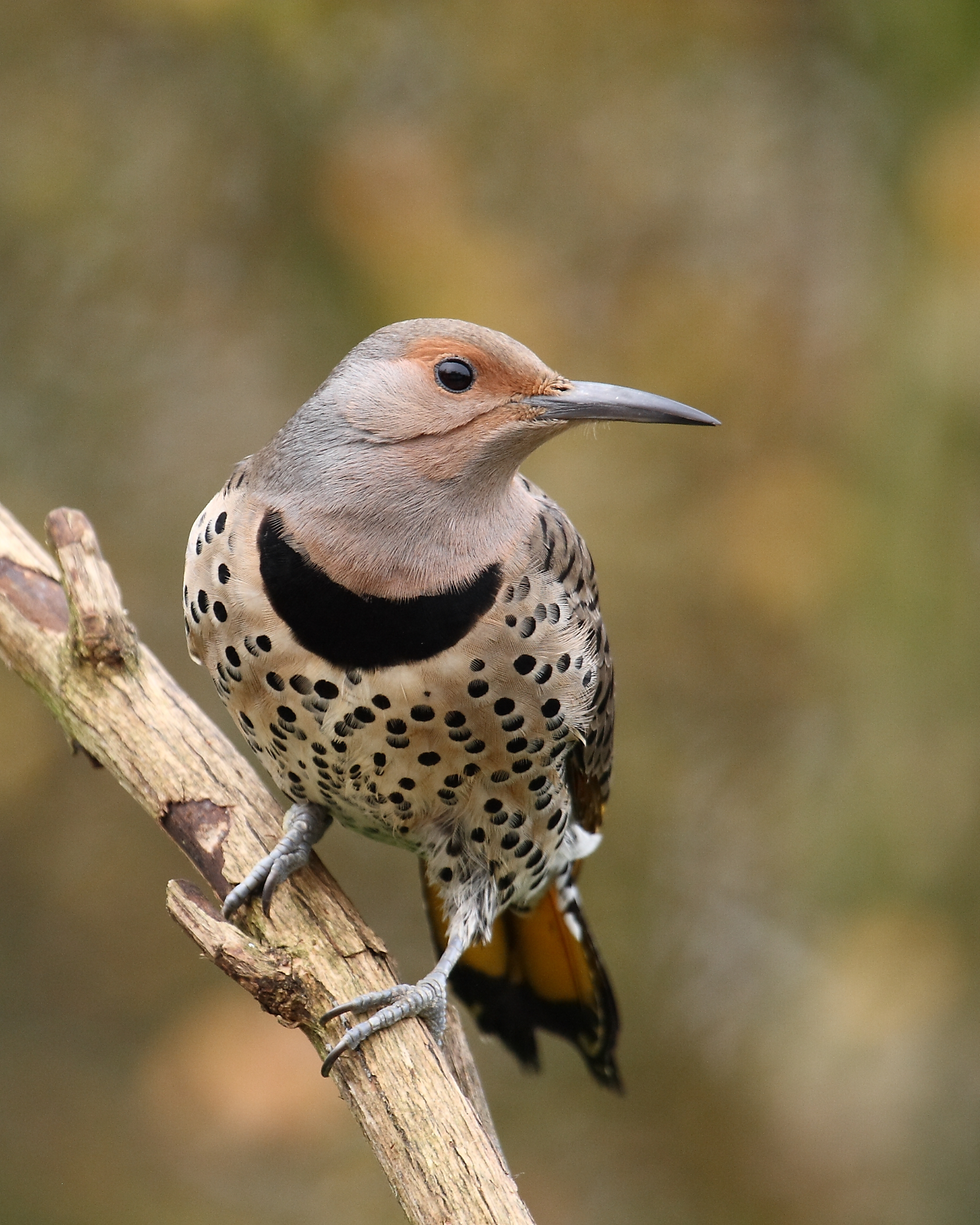 female flicker on branch