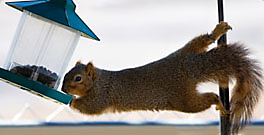All About Squirrels, Feeding