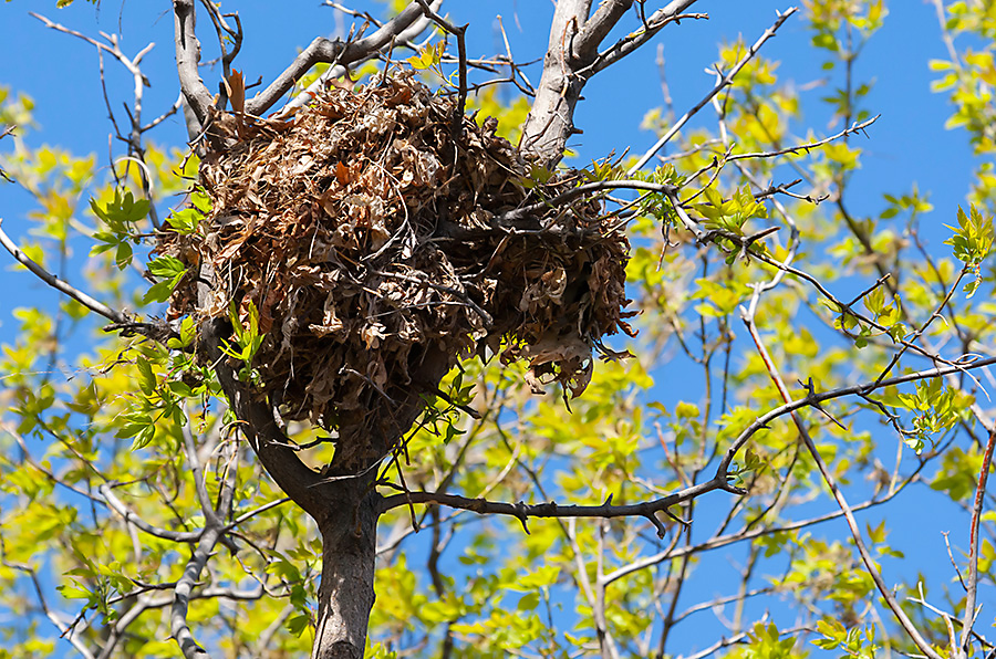 Squirrel leaf nests are created with sticks, leaves and moss. They are set at least 20 feet from the ground.