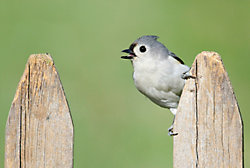 Tufted Titmouse on a Fence