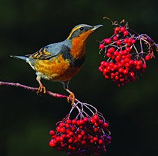 Varied Thrush Eating Berries
